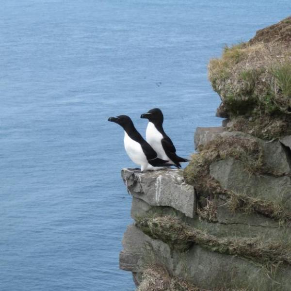 Pingouin Torda, Fjords de l'ouest