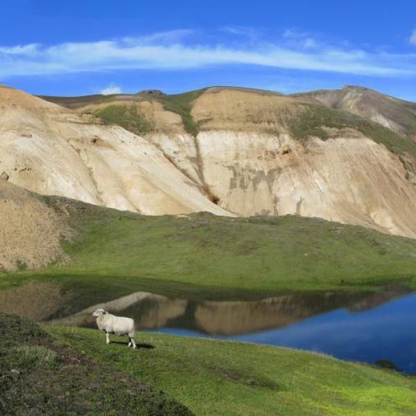 mouton landmanalaugar